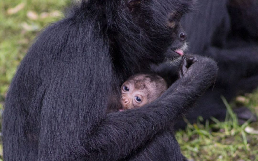 Two Baby Columbian Black Spider Monkeys born at Fota Wildlife Park