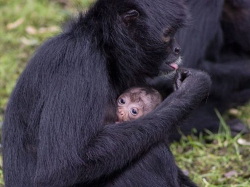Two Baby Columbian Black Spider Monkeys born at Fota Wildlife Park - Ring of Cork